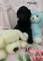 Adorable puppies for adoption! Labradoodle/labs