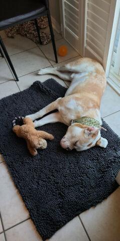 8 month old puppy. Bulldog mix.