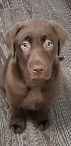 Chocolate lab puppy for sale