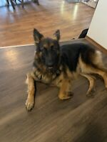 Purebred German Shepard Puppies forsale