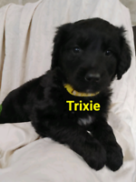 Adorable Golden Retriever/Shepherd/Collie pups....ONLY 2 LEFT