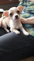 Female Chihuahua Puppy ready for rehoming