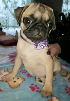 :) Reverse brindle pug puppies  for sale :)