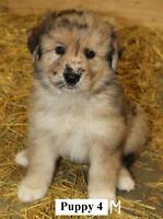 Australian Shepherd Cross puppies