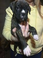 Pure bred boxer pups for sale