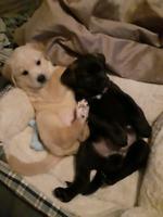 Malamute Husky Mix Puppies For Sale