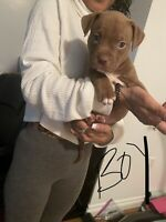 Neopolitan Mastiff mix puppies