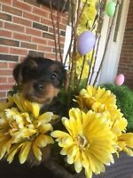 Beautiful Yorkie Puppies * ONE MALE LEFT*