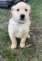 Pure golden retriever puppies!