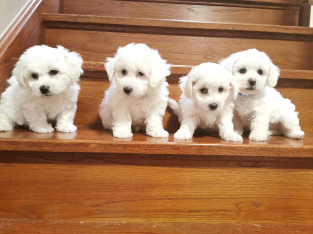 Bichon Frise puppies ready to go now