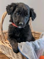 Australian Retreiver Puppies!