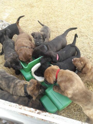 Cane Corso  cross puppies