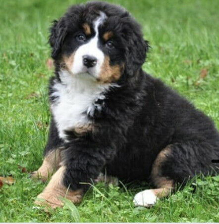 Bernese mountain pup! Ready to go!