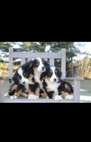 Purebred Bernese Mountain Pups for sale- 2 males 3 females