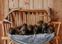Gorgeous Chocolate Lab Puppies !!!!