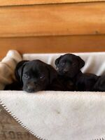 Adorable male black lab puppies  Only 1 left