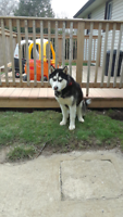MALE HUSKY LOOKING FOR A GOOD HOME