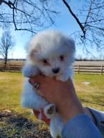 Adorable maltipom (maltese x pomeranian) puppies