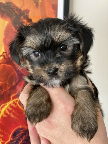 Yorkshire terrier puppies ready for reservation.