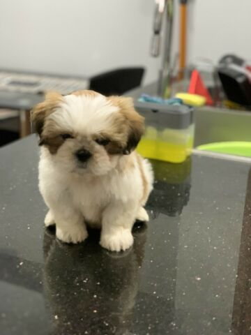 Shih tzu purebred female for sale