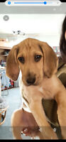 Adorable 10wkold FoxHound for Sale