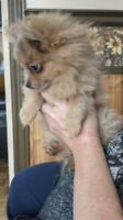 Red Merle pomchi T-cup
