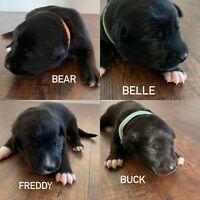 Shepherd X Lab Puppies