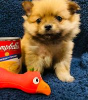 Tiny Toy Pomeranian puppies