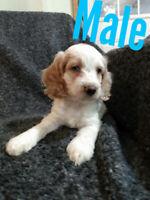 Adorable Cockapoo Puppies
