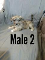 Westie poodle (Westiepoo) puppies