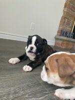 Mini bulldog