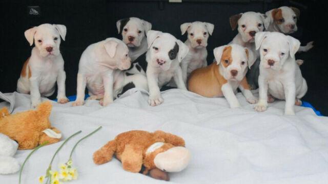 Olde English Bulldogge Puppies!