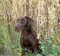 Labrador Retriever Puppies - Champion Hunting / Bird Dog Lines