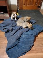 Great Dane puppies $2500
