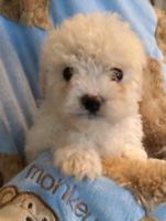 One Yorkie poodle pup left