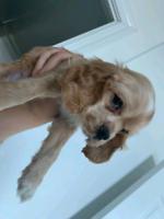 Cockapoo puppy dog 9 weeks old