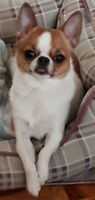 Young gorgeous applehead purebred  chihuahua