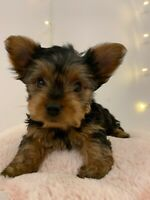 Cute purebred Yorkie puppies for sale