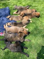 English Mastiff X German Shepherd Puppies