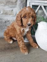 Adorable Apricot Cockapoo puppies