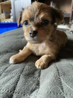 Wanted:                             Puppies mix yorkie and mural Chihuahua