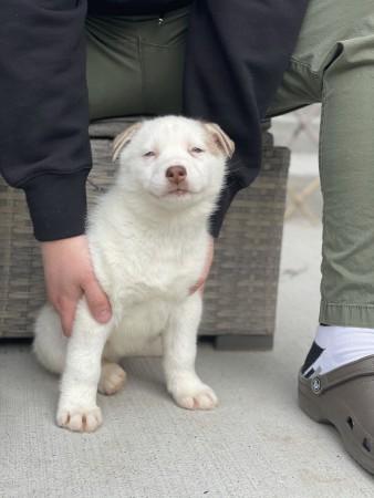 Pending pick up -Beautiful blue eyed Siberian Husky female 9 weeks old