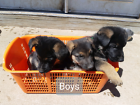 Purebred German Shepherd pups/no papers