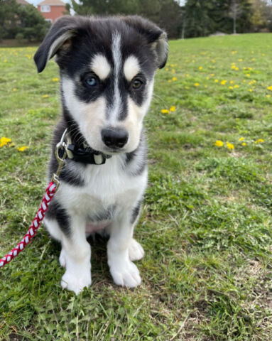 Super cute bi-eyed Husky Puppy available!