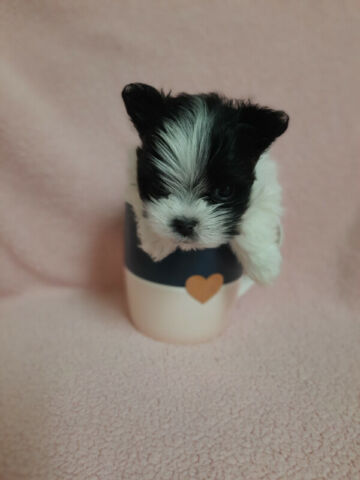 Adorable Morkie toy-size puppy