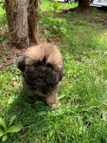 Female Shih Tzu puppy - 2 month old
