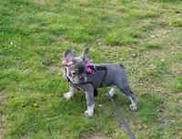 Blue French bulldog for sale