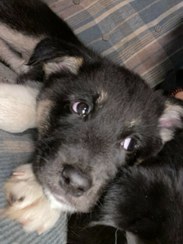 Border collie/Huskey mix Puppies for sale 3Boys