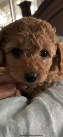 ADORABLE Female Toy/Mini Poodles one remaining ❤️