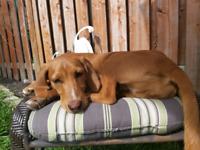 Beagle Vizsla  Mix